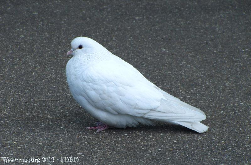 1176.07 Белый голубь