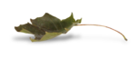 natali_autumn11_leaf4-sh2.png