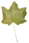 natali_autumn11_leaf5.png