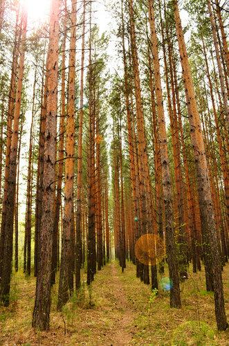 лес, сосновый бор, Красноярск, Академгородок, сосны, сосновая аллея, аллея, тоннель, лесной тоннель