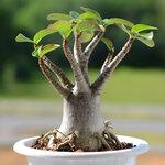 Adenium arabicum BLACK DRAGON