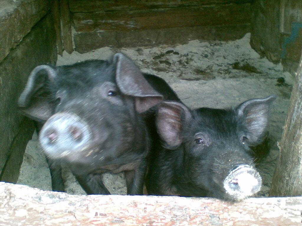 Свиньи Болек и Лелек