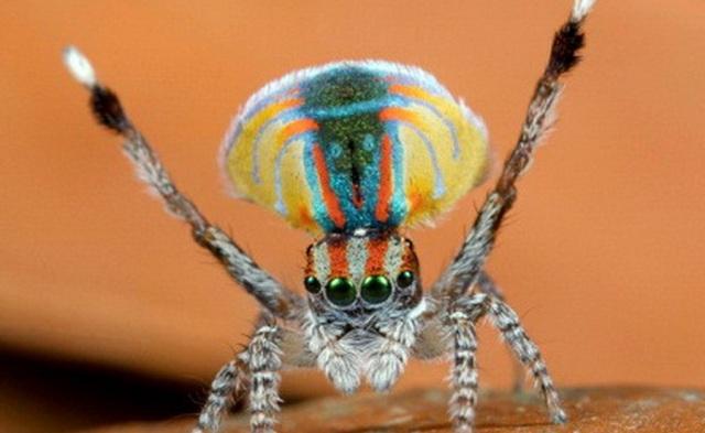 павук-павлін