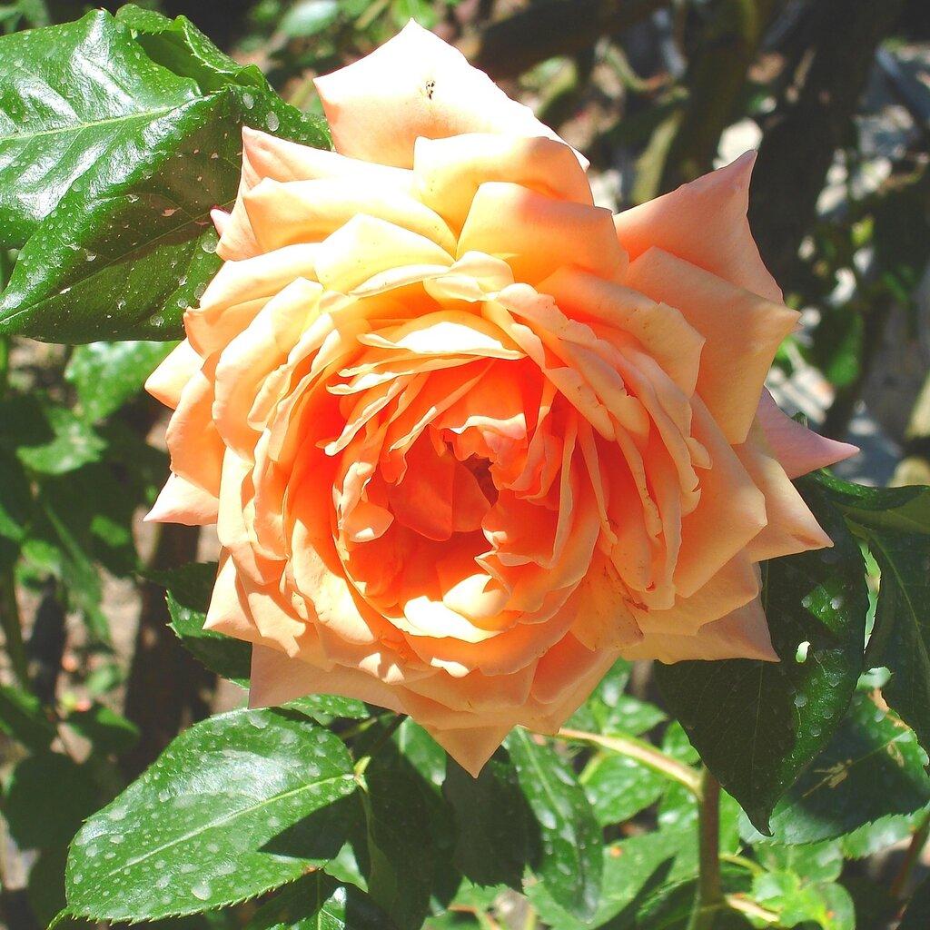 Крым,весна,Никита,ботанический сад,розы