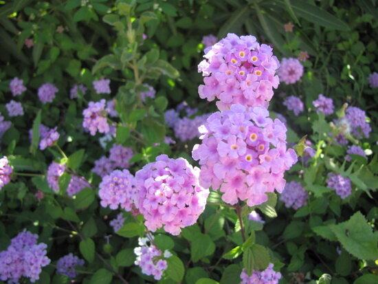 лантана цветок