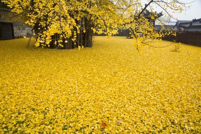 Золотое дерево гинкго. Китай