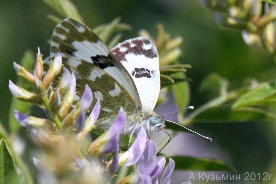 Белянка эдуса (Pontia edusa)