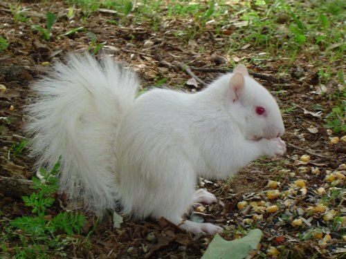 Белка-альбинос