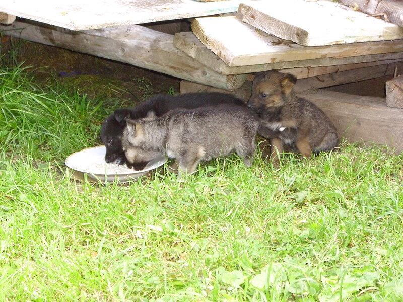 щенки метисы кавказской овчарки.