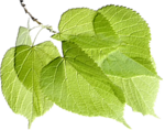 ms-minikit 3-leaves.png