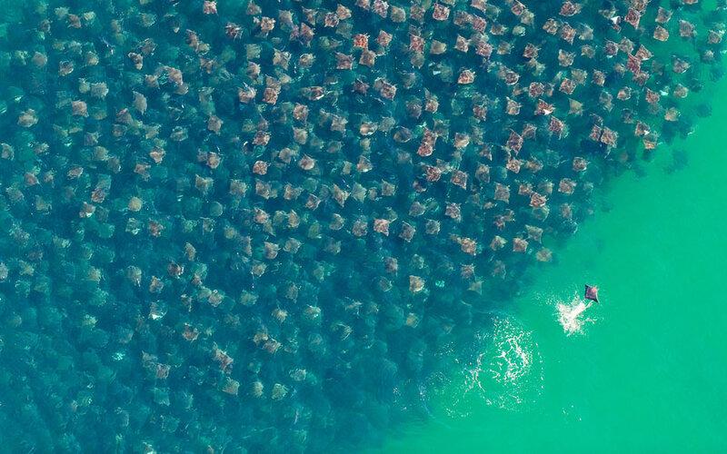 Удивительная миграция скатов