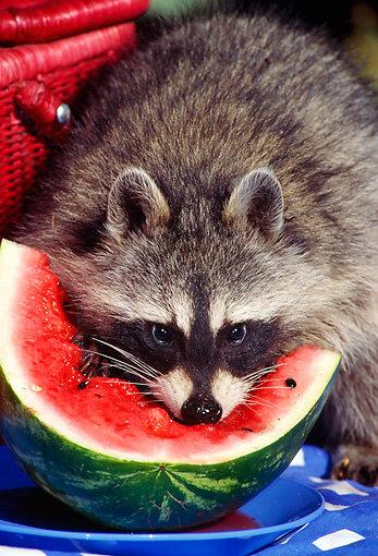 RACCOON eating watermelon
