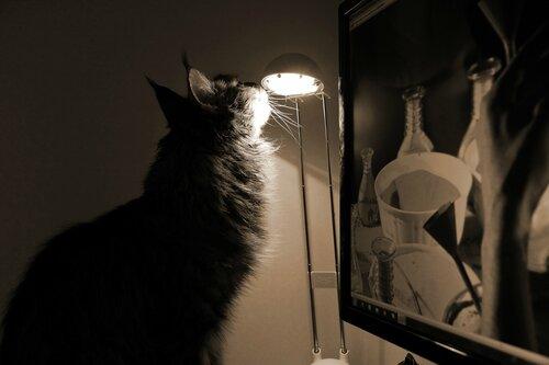 Кот мейн-кун Степан, выпускник питомника мейн-кунов MY GOLDEN DJINNY, 2014 год, коту 4 года