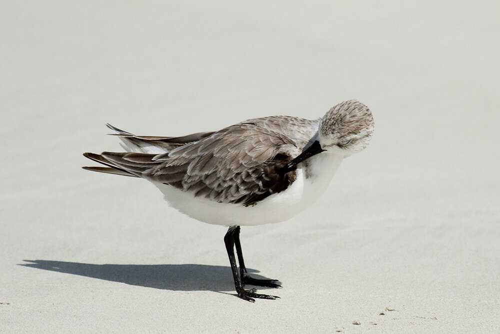 Песчанка (Calidris alba)