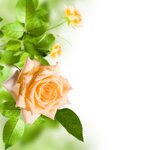 Yellow flower rose with green leafs on white background