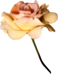 MRD_RT_cream-pink rose.png