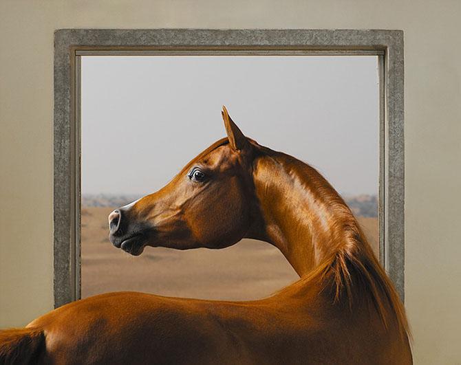 Арабские лошади – супермодели в мире лошадей. Этот сложный постановочный снимок является отсылкой к