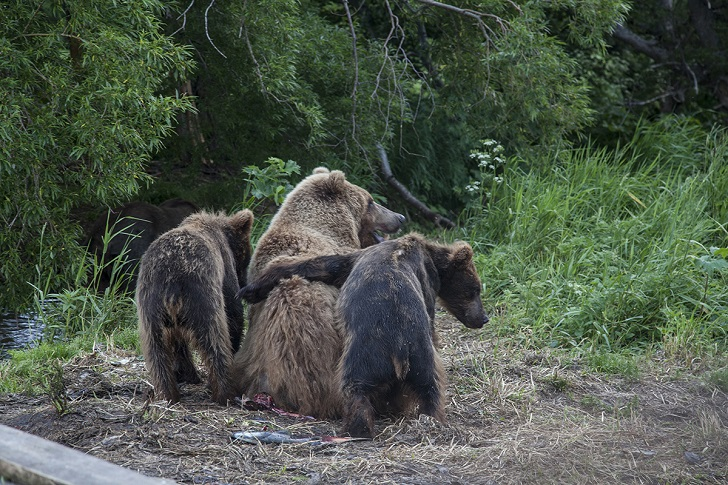 А было действительно весело. К нам в гости пришла Матрена — знатная мамаша с двумя медвежатами. Она