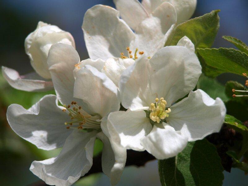 цветёт яблоня