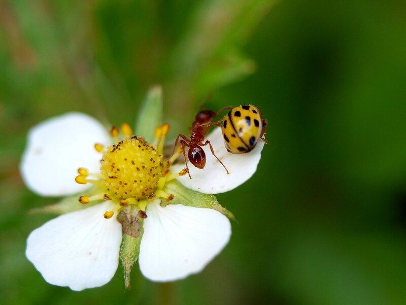 божья коровка и муравей на цветке земляники