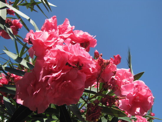 цветы олеандр