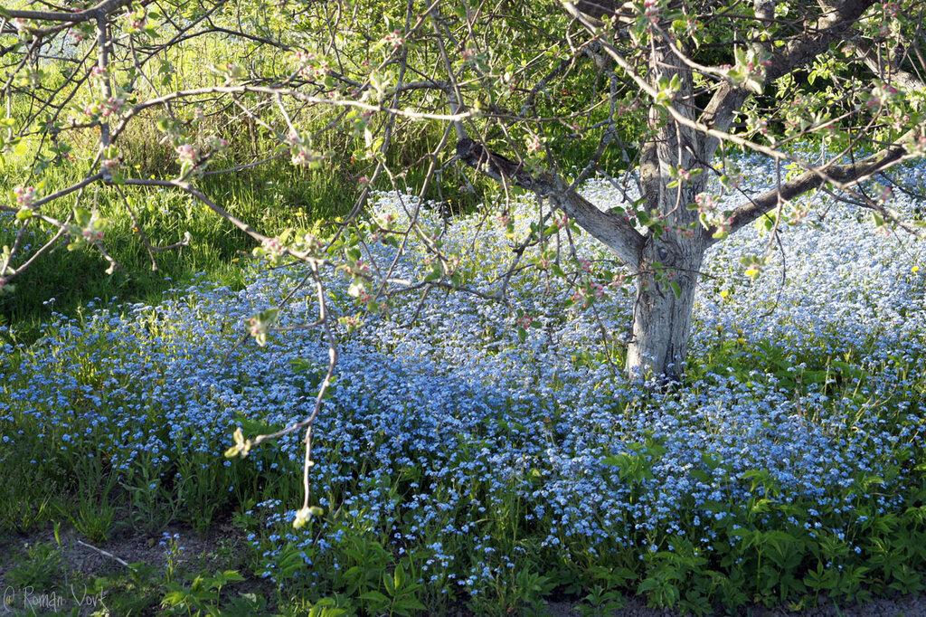 Голубой ковер цветов
