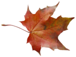 natali_autumn11_leaf2.png