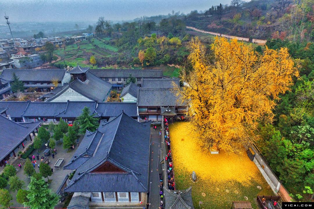 Золотой ковер из листьев около буддийского храма под 1400-летним деревом