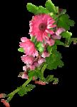 Carena Pink Gerbra Cluster 6.png