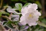 Adenium obesum Triple Flower WHITE ROSES