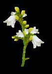 «whitebell flowers»  0_879f3_5ae688fc_S