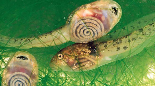 Костариканские головастики Жутковатые с виду ребята, желудок которых прекрасно просматривается сквоз