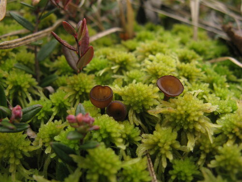 Монилиния клюквы (Monilinia oxycocci) Автор фото: Станислав Кривошеев