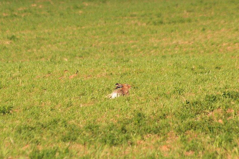 Крупный заяц-русак (лат. Lepus europaeus) лежит на поле в Яранском районе Кировской области