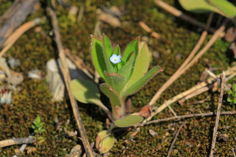 Очень маленькое растение высотой не более 2 см с единственным светло-голубым цветком с 5 лепестками, вероятно, незабудка (лат. Myosotis)