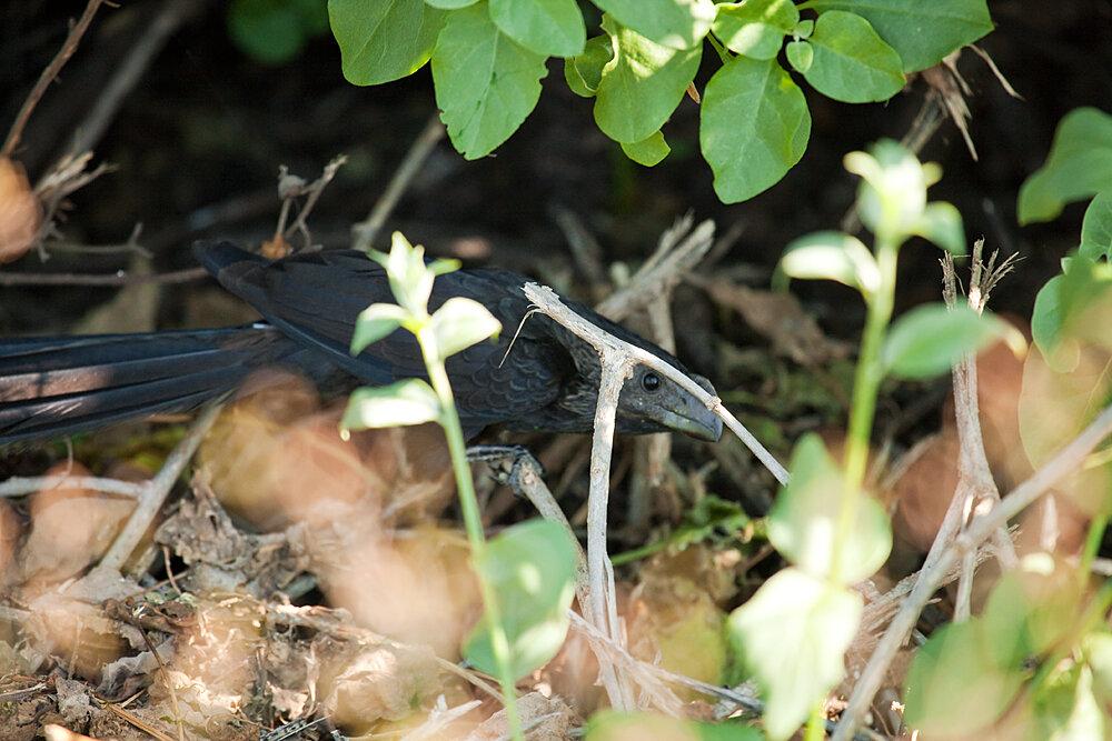 Кукушка-ани (Crotophaga ani)