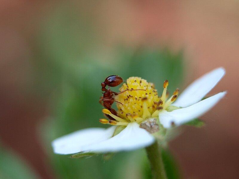 муравей на цветке земляники