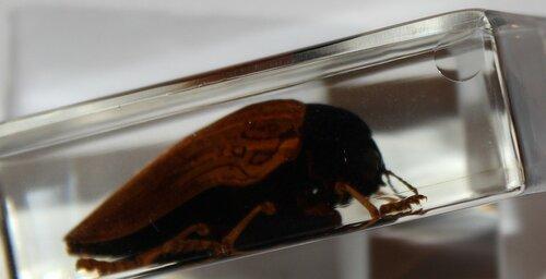 Насекомые №70 - Сверчок Тарбинскиелус (Личинка) (Tarbinskiellus sp.)