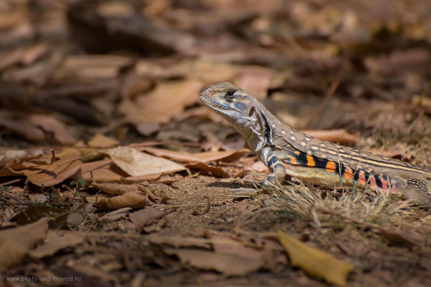 Фотография 10. Ящерица. Отзыв об экскурсии  в национальный парк Кхао Сам Рой Йот в Таиланде. Снимок с уровня глаз модели. (320, 270, 5.6, 1/1000, телеобъектив Nikkor 70-300, фотоаппарат Nikon D610)