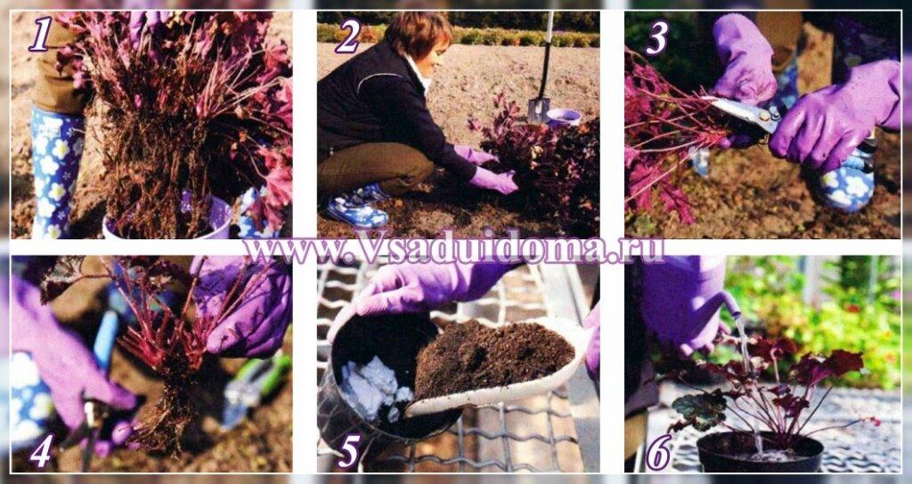 размножение цветов гейхер - фото