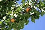 Июнь-2012. На Кубани зреют персики, абрикосы...
