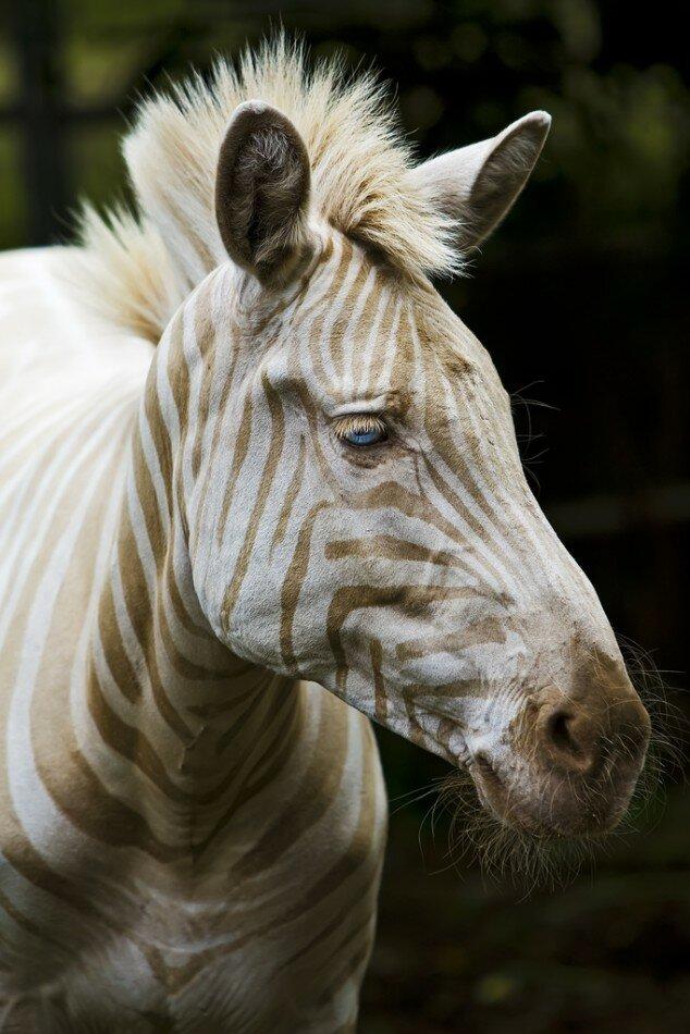 Зебра-альбинос