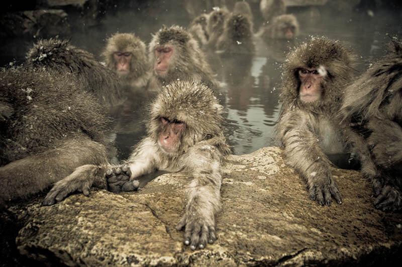 Японские макаки в горячих источниках Нагано