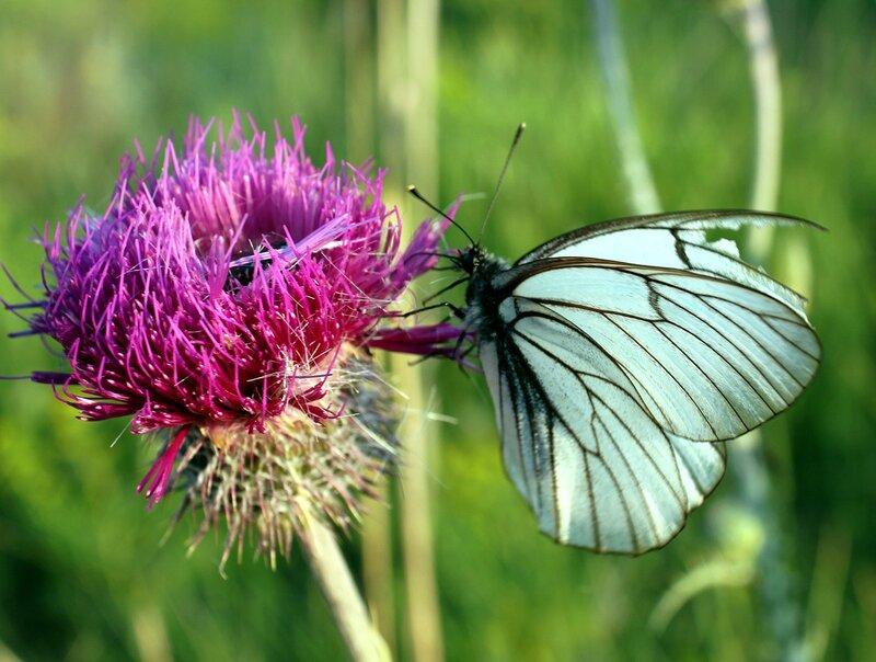Бабочка боец