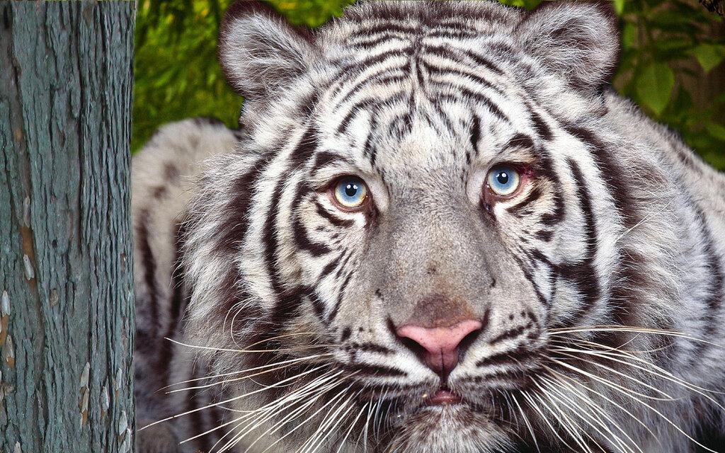 Черный лев и черно-белый тигр.