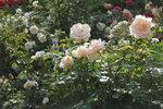 IMG_5359.JPG  роза чайно-гибридная  Grand Mogul Delbard-Chabert Франция, 1965