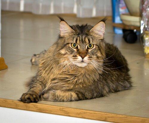 Кот мейн-кун из Карелии