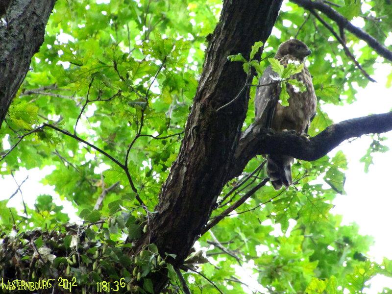 1181.36 Молодой тетеревятник у гнезда