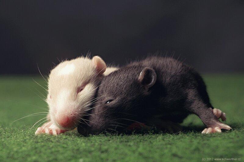Детёныши крыс
