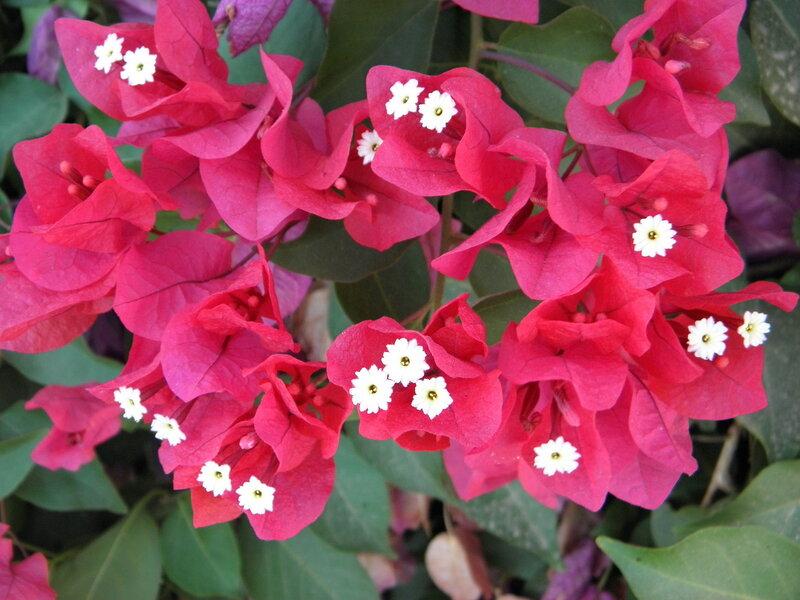 dar-leya2011 Зацвела Бугенвилия! цветы.